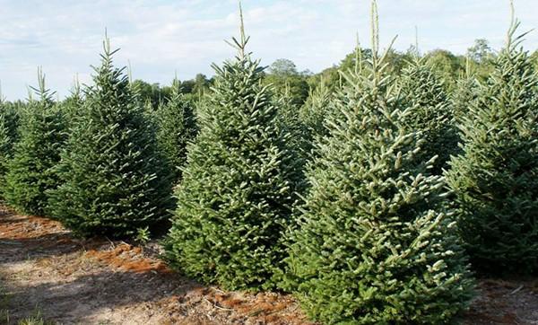 Christmas tree farm Toledo